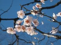 Ume01_mukoujima_200802