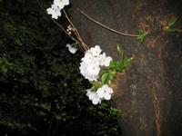 Chidorigafuti4
