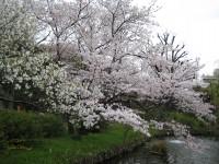 Mukoujimahyakkaennsakura2008_01_2