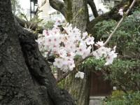 Mukoujimahyakkaennsakura2008_03