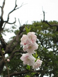 Mukoujimahyakkaengenpeimomo_2008040