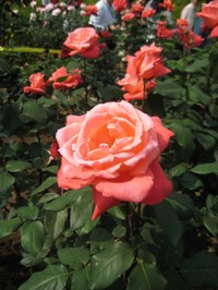 Rose_cacharinedonubu_080517_4