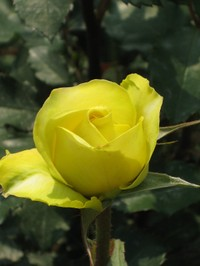 Rose_goldenmedaion_080517_9