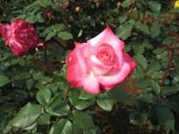 Rose_holyfire_080517