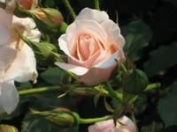 Rose_kotone_080517