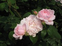 Rose_masako_080517