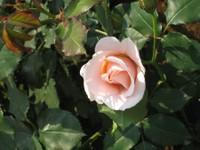 Rose_peace_080517