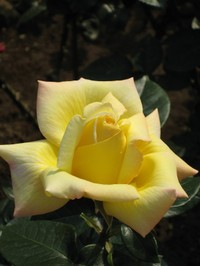 Rose_yellow_080517