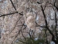 Sakura1_gyoen_090406