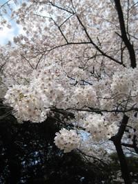 Sakura2_gyoen_090406