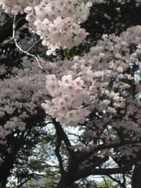 Sakura3_gyoen_090406