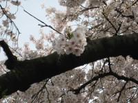 Sakura4_gyoen_090406
