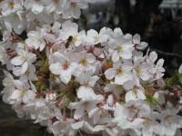 Sakura5_gyoen_090406