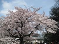 Sakuratree_gyoen_090406