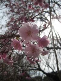 Shidaresakura_gyoen_090406_2