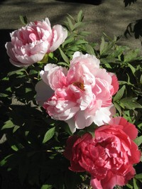 Hyakkaen_pinkbotan100110