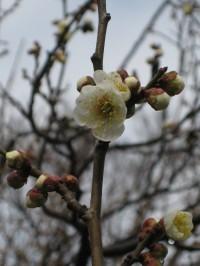 Hakubai_1_20100202