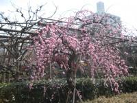 Pinkfutaeumetree_100224