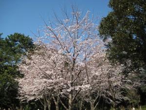 Gardenmuseumsakura2_100330_3