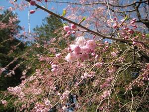 Gardenmuseumsidaresakura_100330_3