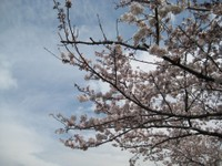 Riversidesakura1_100401