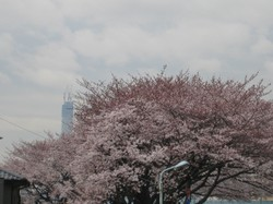 Sakuratree_100401_3
