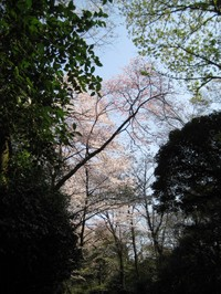 Sakurarikugien1_20100403