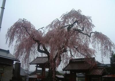 Otohimesakura2002