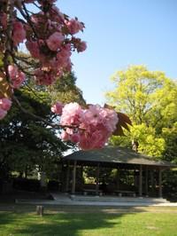 Yaezakura_kiyosumi_20100425_6
