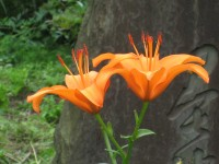 Lily_20100621