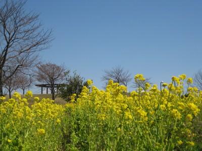 Nanohana_20110328