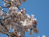 Sakura1_20110405_2
