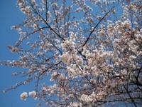 Sakura2_20110405