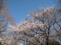 Sakura5_20110405