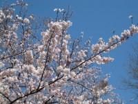 Sakura6_20110405