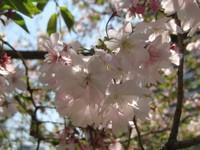 Jyuubannzakura_20110413