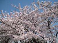 Sakuranamiki2_20110407_2