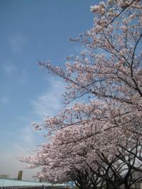 Sakuranamiki4_20110407