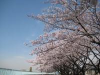 Sakuranamiki_20110407