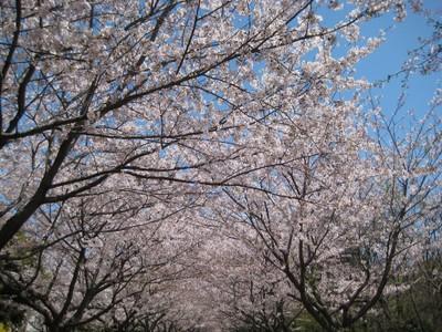 Sakuranamiki_kasai_40110412