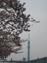 Sakuraskytree_20110407
