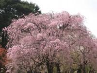 Sidaresakura_20110410