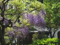 Koifujihokora_20110426