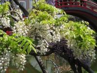 Sirofujikoifujitaikobashi_20110426