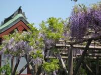 Sirofujikoifujitana2_20110426