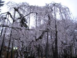 Fusehimesakura2_20120407