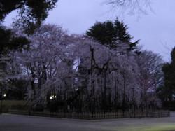 Fusehimesakura_20120407