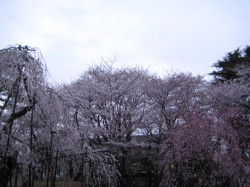 Fuseyoshinobenisidare_20120407