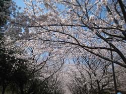 Sakuranamiki1_20120408