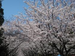 Sakuranamiki2_20120408